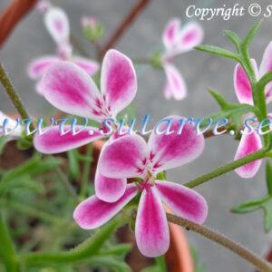 P. anethifolium Änlish P. triste