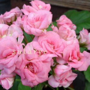 Graingers Antique Rose (Will Grainger)