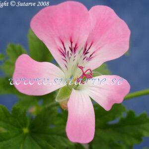 Birdbush Pink and Perky
