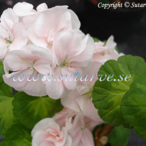 Butterfly Lorely/Variegated Lorely