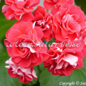 Rosebud Supreme