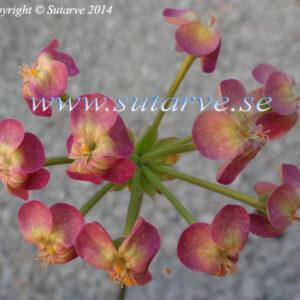 Gibbosina  Orchid (Jan Edgar Martinsen, 2010)