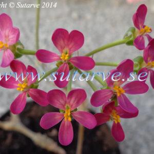Gibbosina Purple (Jan Edgar Martinsen, 2010)