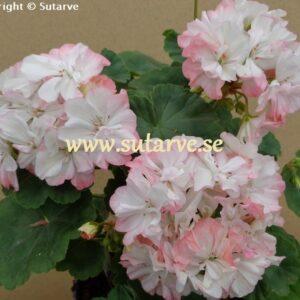 Jip´s Rosy Glow (Burgess)