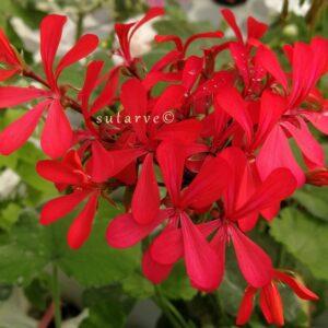P. Kewense Red