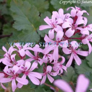 P. Derwood Lavender Lass