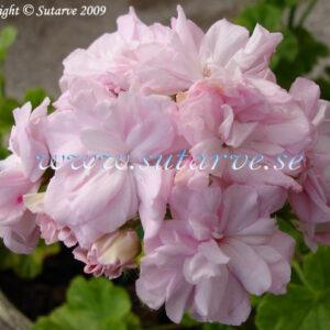 Millfield Rosebud/Rosebud Gem (Mrs.Holborow)