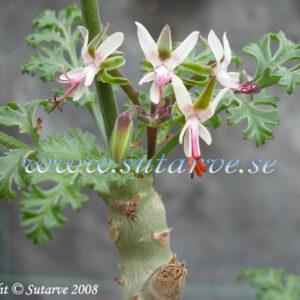 P. carnosum