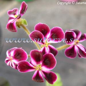 P. x lawrenceanum