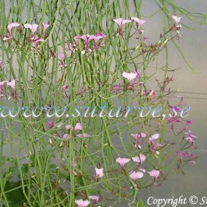 P. tetragonum (rosa)