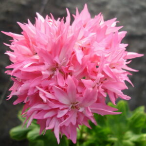 Pink Bright