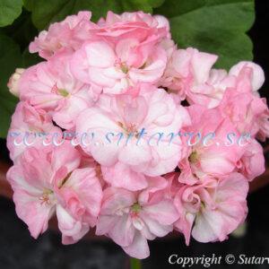 Pink Dahlia Flowered