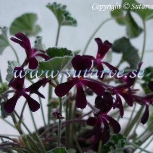 P. sidoides lila