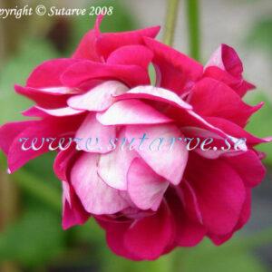 Rose of Bulgarien