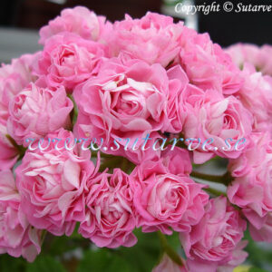 Swanland Pink/Australien Pink Rosebud