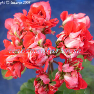 Vectis Rosebud (B West)