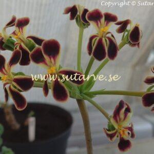 P. x Glauciifolium