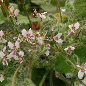 P. tomentosum (Jacquin)