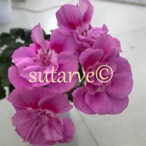 U-Sireneviy Tuman/U-Purple Mist