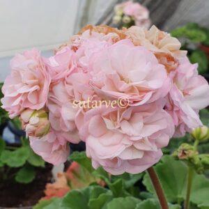 Madpearl Rose